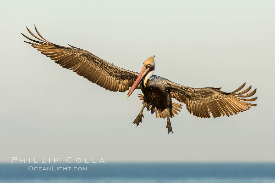Brown pelican in flight, spreading wings wide to slow in anticipation of landing on seacliffs. La Jolla, California, USA, Pelecanus occidentalis, Pelecanus occidentalis californicus, natural history stock photograph, photo id 30254