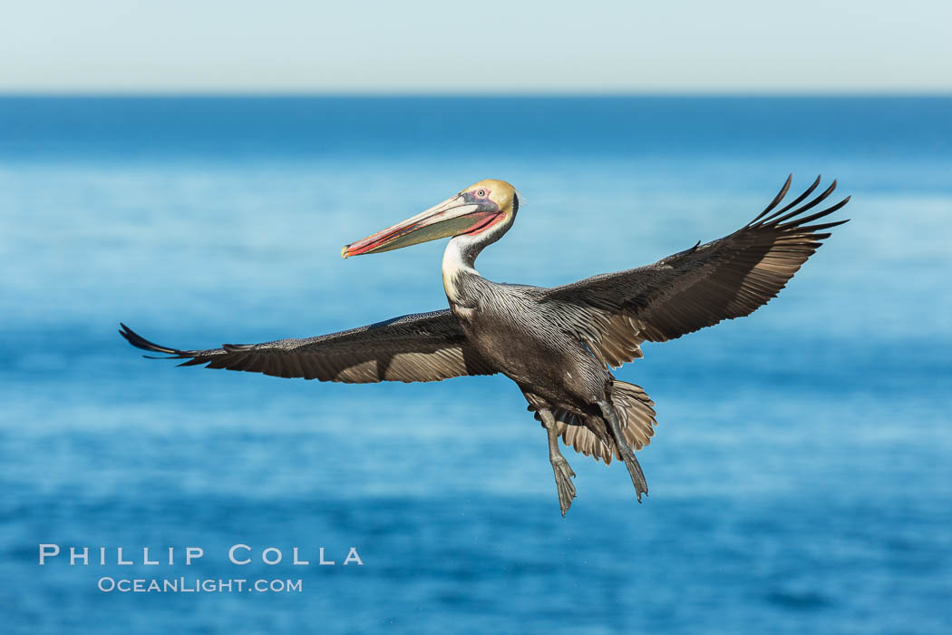 Brown pelican in flight, spreading wings wide to slow in anticipation of landing on seacliffs. La Jolla, California, USA, Pelecanus occidentalis, Pelecanus occidentalis californicus, natural history stock photograph, photo id 30303