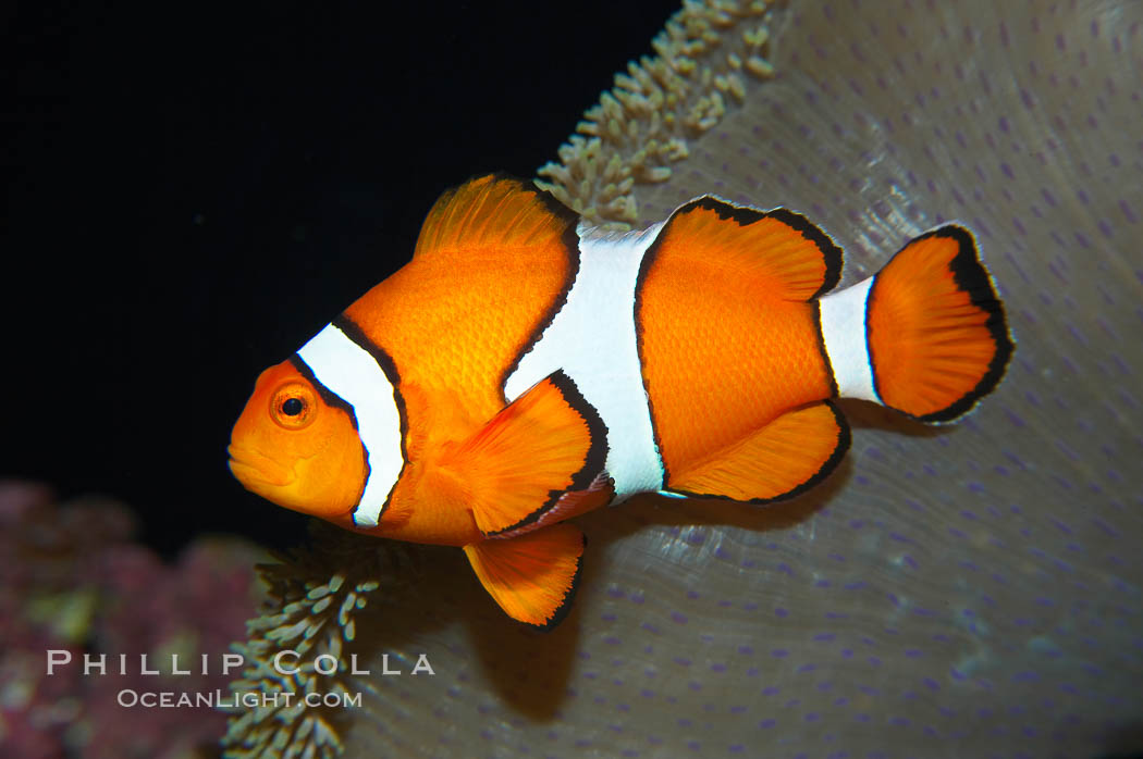 Percula clownfish anemonefish., Amphiprion percula, natural history stock photograph, photo id 13673