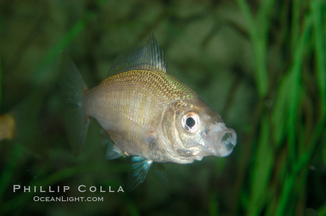 White seaperch., Phanerodon furcatus, natural history stock photograph, photo id 09409