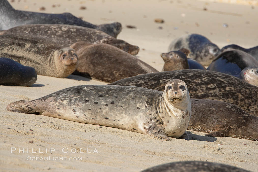 A Pacific harbor seal hauled out on a sandy beach.  This group of harbor seals, which has formed a breeding colony at a small but popular beach near San Diego, is at the center of considerable controversy.  While harbor seals are protected from harassment by the Marine Mammal Protection Act and other legislation, local interests would like to see the seals leave so that people can resume using the beach. La Jolla, California, USA, Phoca vitulina richardsi, natural history stock photograph, photo id 15056