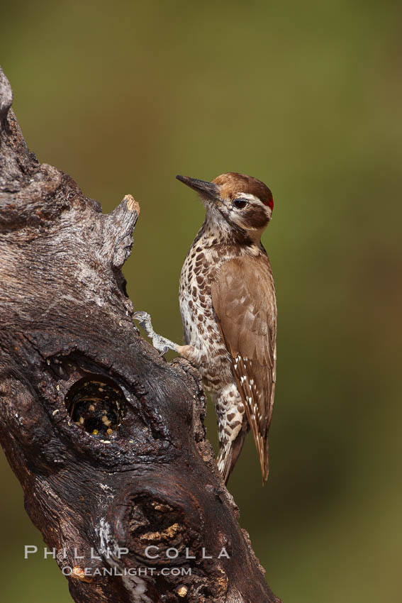 Arizona woodpecker, male. Madera Canyon Recreation Area, Green Valley, USA, Picoides arizonae, natural history stock photograph, photo id 22972