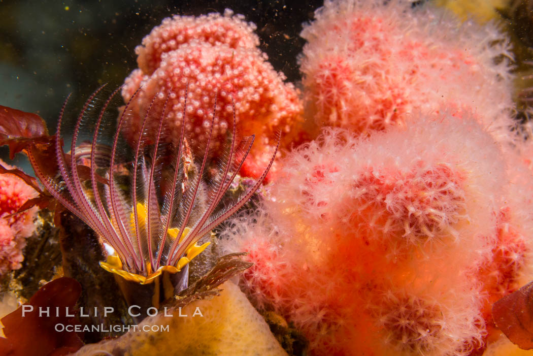 Pink Soft Coral and Barnacle, Gersemia Rubiformis, Browning Pass, Vancouver Island, Gersemia rubiformis
