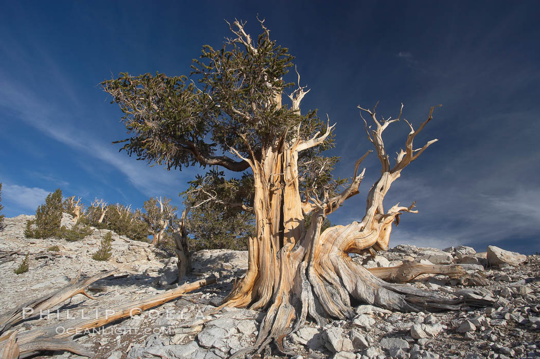 Bristlecone pine displays its characteristic gnarled, twisted form as it rises above the arid, dolomite-rich slopes of the White Mountains at 11000-foot elevation. Patriarch Grove, Ancient Bristlecone Pine Forest., Pinus longaeva,  Copyright Phillip Colla, image #17475, all rights reserved worldwide.