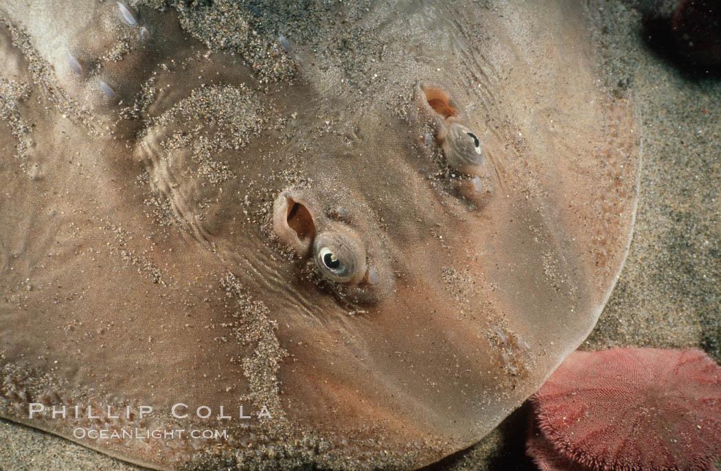 Thornback ray. La Jolla, California, USA, Platyrhinoidis triseriata, natural history stock photograph, photo id 05011