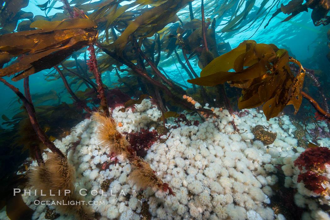 Plumose anemones cover the ocean reef, Browning Pass, Vancouver Island, Canada, Metridium senile, Nereocystis luetkeana