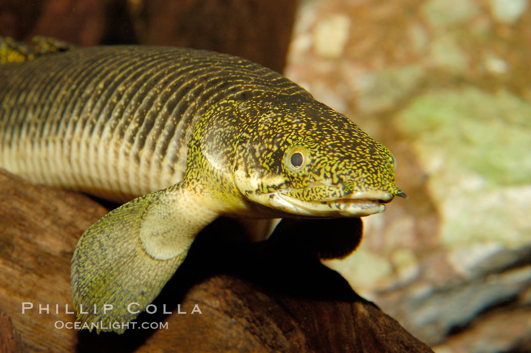 Bichir., Polypterus, natural history stock photograph, photo id 09356