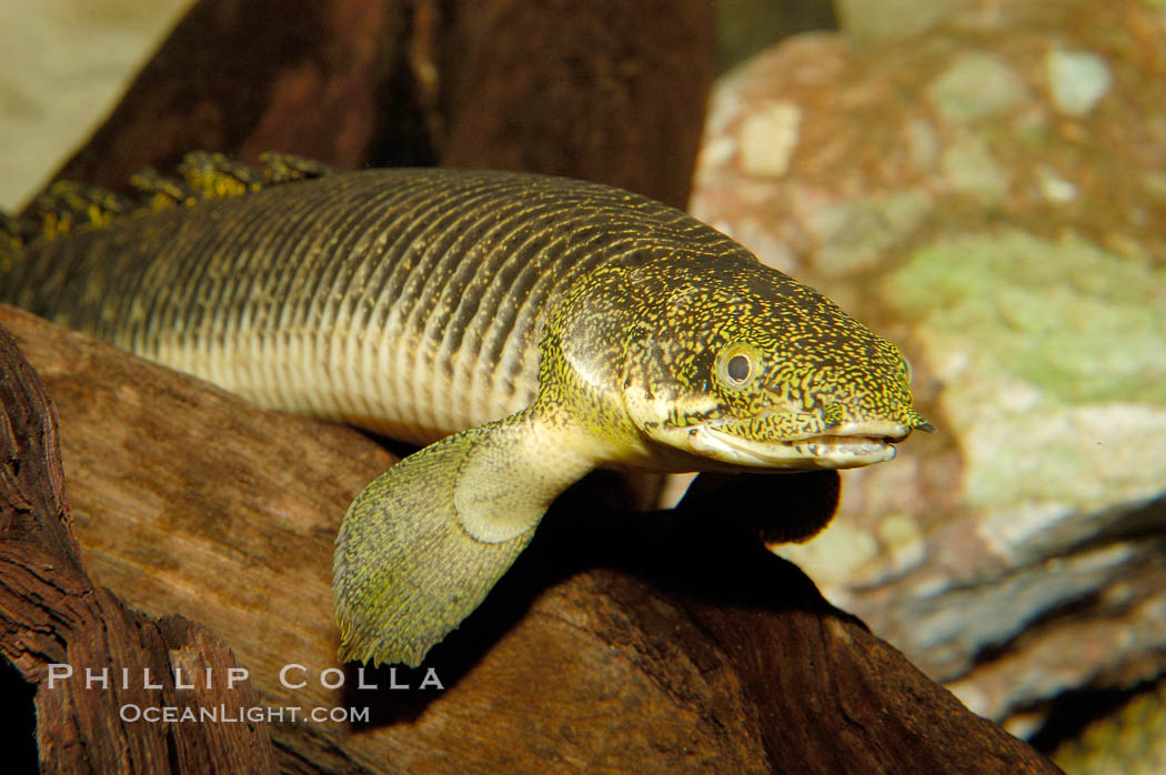 Bichir., Polypterus, natural history stock photograph, photo id 09359