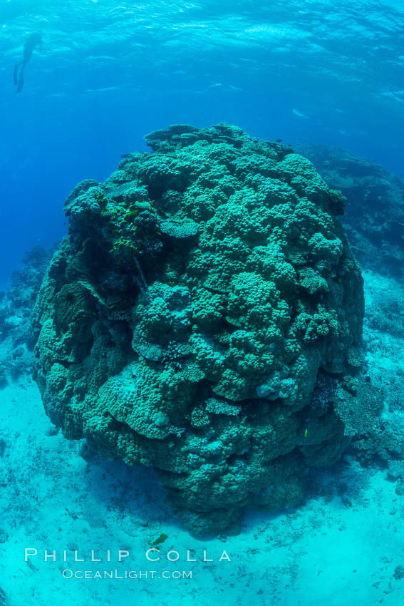 Enormous pristine 1000-year-old Porites coral head, boulder coral, Fiji. Wakaya Island, Lomaiviti Archipelago, natural history stock photograph, photo id 31759