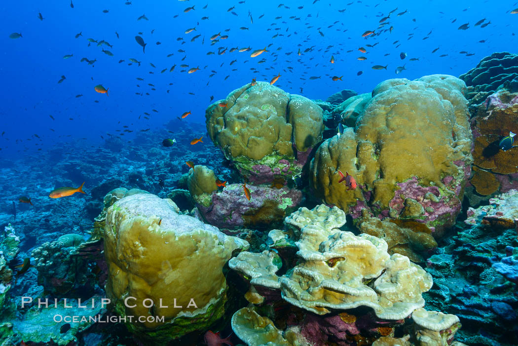 Coral reef of Porites sp., Porites lobata (rounded) and Porites arnaudi (platelike) comprise coral reef at Clipperton Island. Clipperton Island, France, Porites lobata, Porites arnaudi, natural history stock photograph, photo id 32954