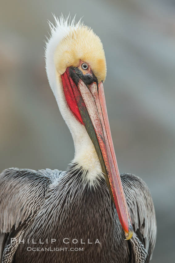 Portrait of California brown pelican, with the characteristic winter mating plumage shown: red throat, yellow head, Pelecanus occidentalis, Pelecanus occidentalis californicus, La Jolla