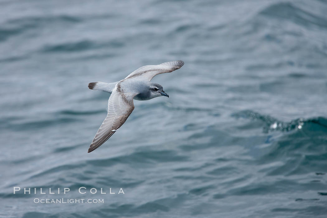 Prion in flight. Scotia Sea, Southern Ocean, Pachyptila, natural history stock photograph, photo id 24708