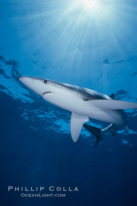 Blue shark underwater in the open ocean. San Diego, California, USA, Prionace glauca, natural history stock photograph, photo id 01002