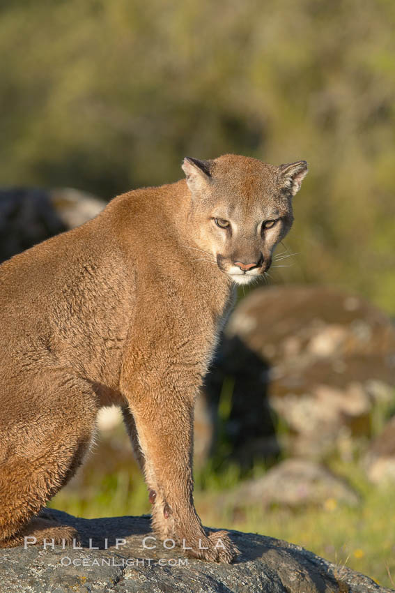 Mountain lion, Sierra Nevada foothills, Mariposa, California., Puma concolor, natural history stock photograph, photo id 15802