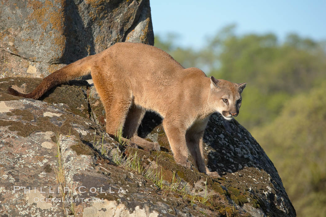 Mountain lion, Sierra Nevada foothills, Mariposa, California., Puma concolor, natural history stock photograph, photo id 15792