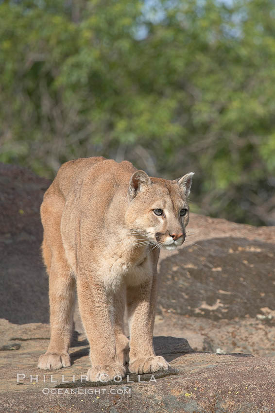 Mountain lion, Sierra Nevada foothills, Mariposa, California., Puma concolor, natural history stock photograph, photo id 15797