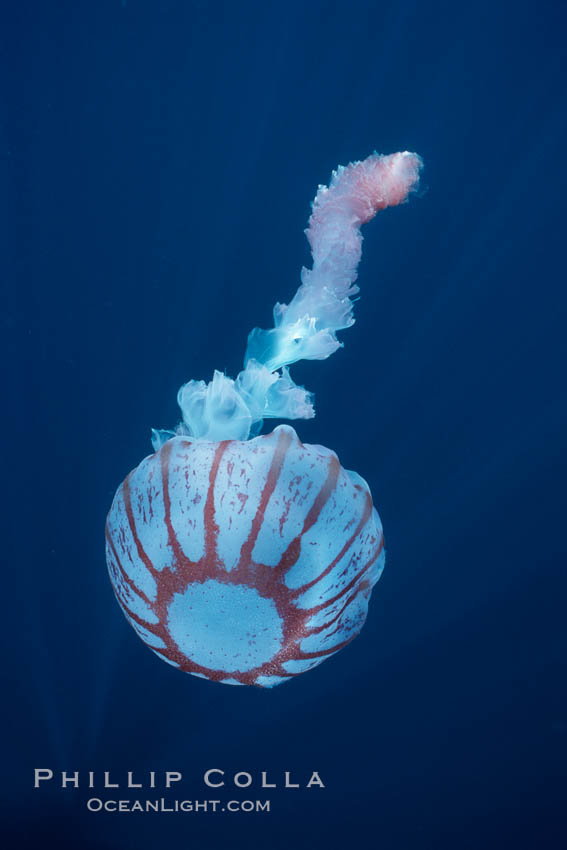 Purple-striped jellyfish. San Diego, California, USA, Chrysaora colorata, natural history stock photograph, photo id 03778