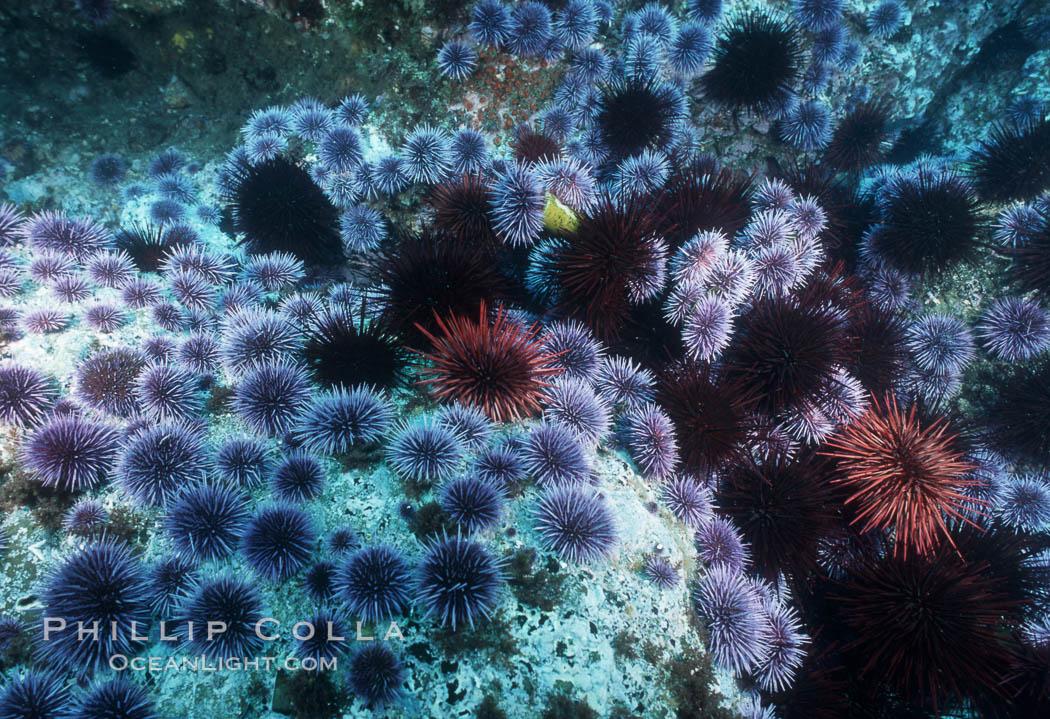 Purple and red urchins. Santa Barbara Island, California, USA, Strongylocentrotus purpuratus, Strogylocentrotus franciscanus, natural history stock photograph, photo id 04730