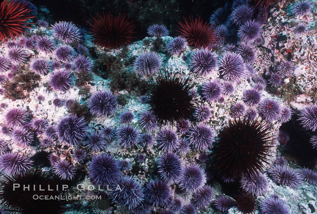 Purple and red urchins. Santa Barbara Island, California, USA, Strongylocentrotus purpuratus, Strogylocentrotus franciscanus, natural history stock photograph, photo id 04731
