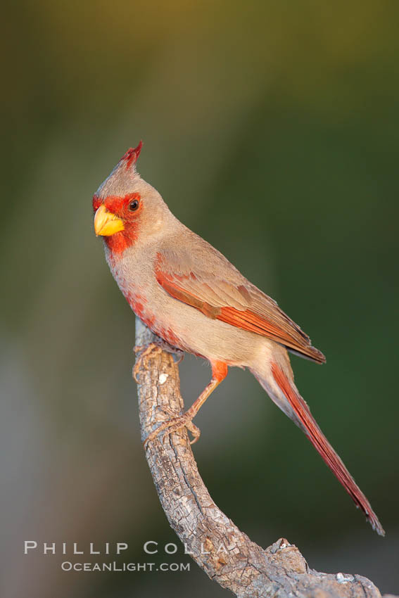 Pyrrhuloxia, male. Amado, Arizona, USA, Cardinalis sinuatus, natural history stock photograph, photo id 22955