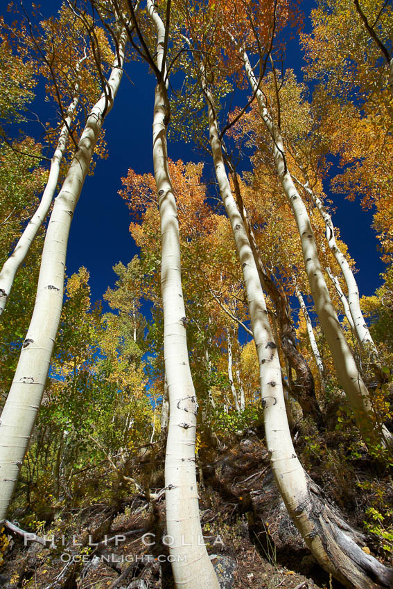 White trunks of aspen trees, viewed upward toward the yellow and orange leaves of autumn and the blue sky beyond. Bishop Creek Canyon, Sierra Nevada Mountains, Bishop, California, USA, Populus tremuloides, natural history stock photograph, photo id 23385