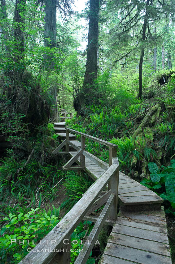 Rainforest Trail in Pacific Rim NP, one of the best places along the Pacific Coast to experience an old-growth rain forest, complete with western hemlock, red cedar and amabilis fir trees. Moss gardens hang from tree crevices, forming a base for many ferns and conifer seedlings. Rainforest Trail, Pacific Rim National Park, British Columbia, Canada, natural history stock photograph, photo id 21058