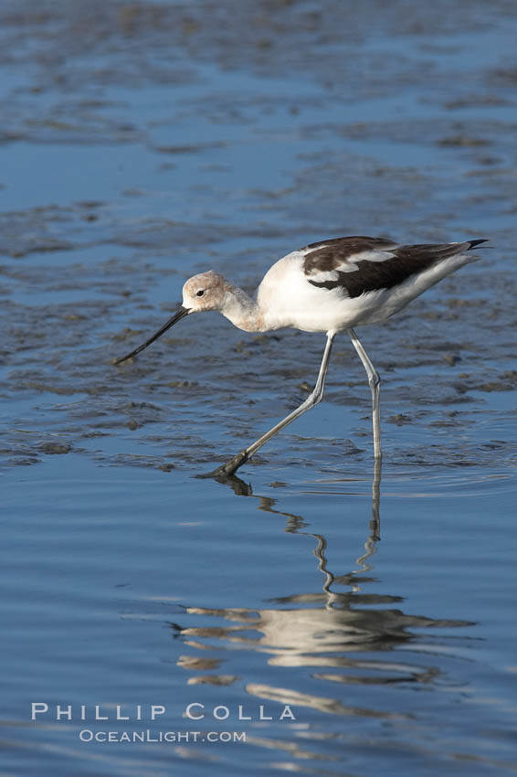 American avocet, forages on mud flats. Upper Newport Bay Ecological Reserve, Newport Beach, California, USA, Recurvirostra americana, natural history stock photograph, photo id 15680