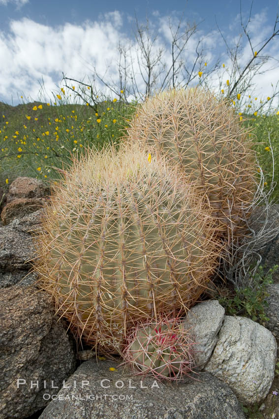 Barrel cactus, Glorietta Canyon.  Heavy winter rains led to a historic springtime bloom in 2005, carpeting the entire desert in vegetation and color for months, Ferocactus cylindraceus, Anza-Borrego Desert State Park, Anza Borrego, California