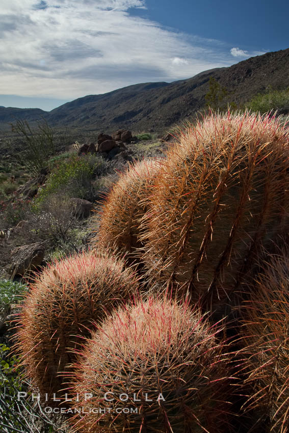 Red barrel cactus, Glorietta Canyon, Anza-Borrego Desert State Park, Ferocactus cylindraceus, Anza Borrego, California