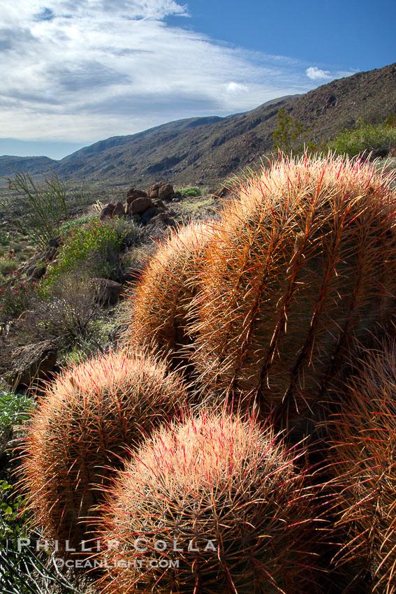 Red barrel cactus, Glorietta Canyon, Anza-Borrego Desert State Park, Ferocactus cylindraceus, Anza Borrego, California