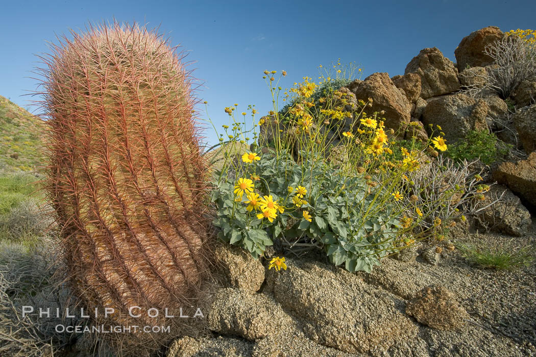 Barrel cactus, brittlebush and wildflowers color the sides of Glorietta Canyon.  Heavy winter rains led to a historic springtime bloom in 2005, carpeting the entire desert in vegetation and color for months., Ferocactus cylindraceus, Encelia farinosa,  Copyright Phillip Colla, image #10899, all rights reserved worldwide.