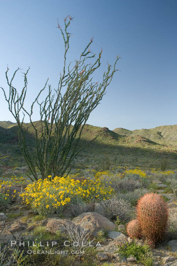 Barrel cactus, brittlebush, ocotillo and wildflowers color the sides of Glorietta Canyon.  Heavy winter rains led to a historic springtime bloom in 2005, carpeting the entire desert in vegetation and color for months, Ferocactus cylindraceus, Encelia farinosa, Fouquieria splendens, Anza-Borrego Desert State Park, Anza Borrego, California