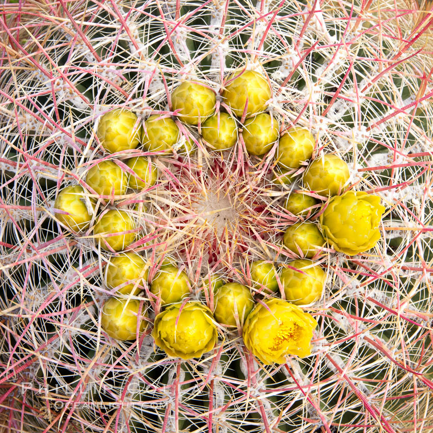 Red barrel flower bloom, cactus detail, spines and flower on top of the cactus, Glorietta Canyon, Anza-Borrego Desert State Park, Ferocactus cylindraceus, Anza Borrego, California