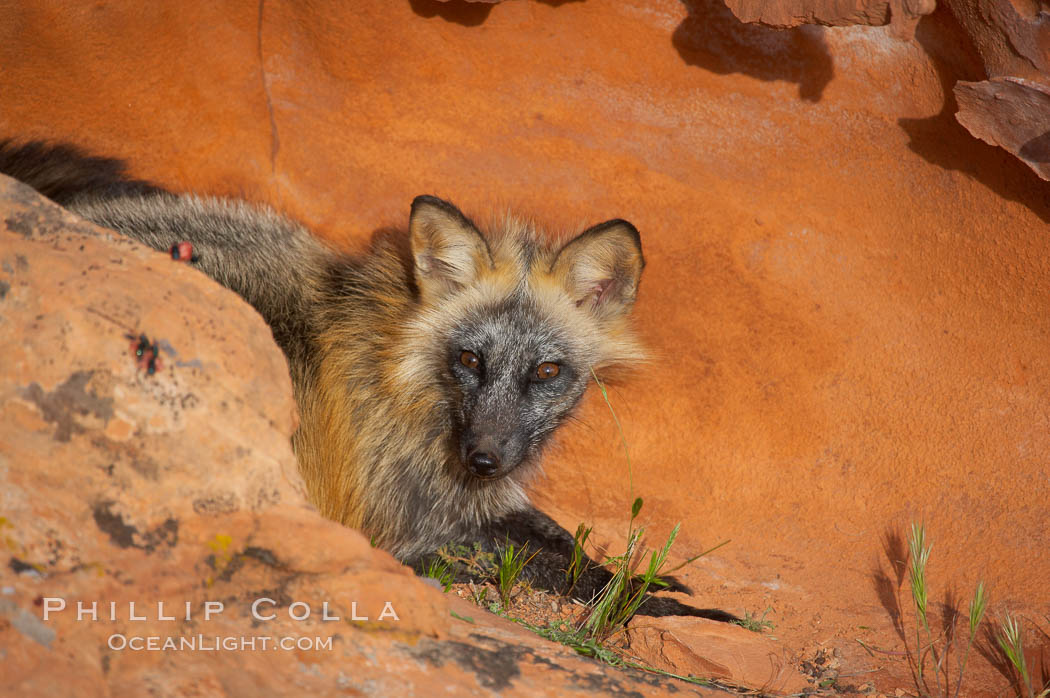 Cross fox.  The cross fox is a color variation of the red fox., Vulpes vulpes, natural history stock photograph, photo id 12120