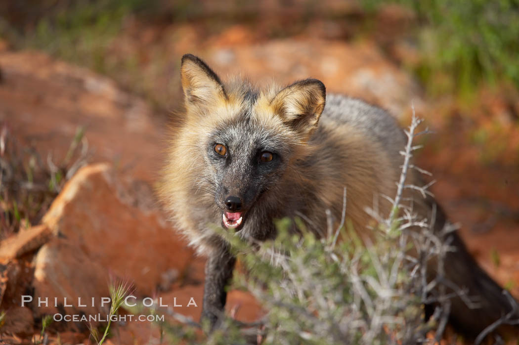 Cross fox.  The cross fox is a color variation of the red fox., Vulpes vulpes, natural history stock photograph, photo id 12111
