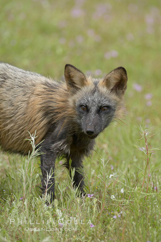 Cross fox, Sierra Nevada foothills, Mariposa, California.  The cross fox is a color variation of the red fox., Vulpes vulpes, natural history stock photograph, photo id 15975