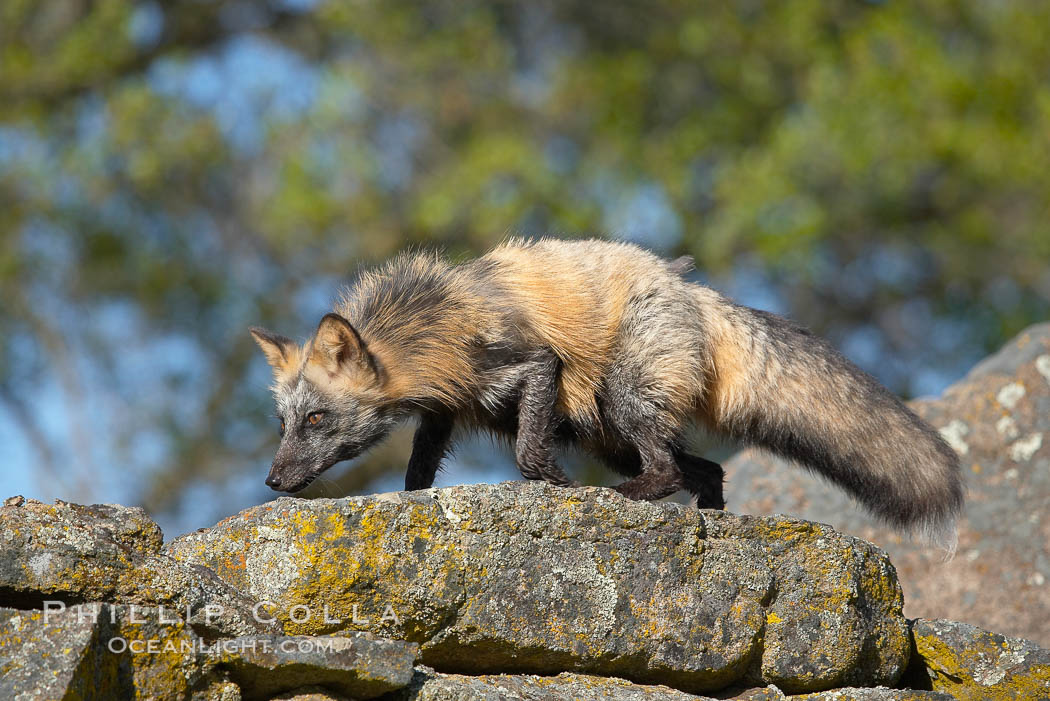 Cross fox, Sierra Nevada foothills, Mariposa, California.  The cross fox is a color variation of the red fox., Vulpes vulpes, natural history stock photograph, photo id 15957