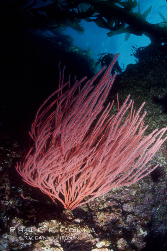 Red gorgonian. San Clemente Island, California, USA, Lophogorgia chilensis, natural history stock photograph, photo id 03484