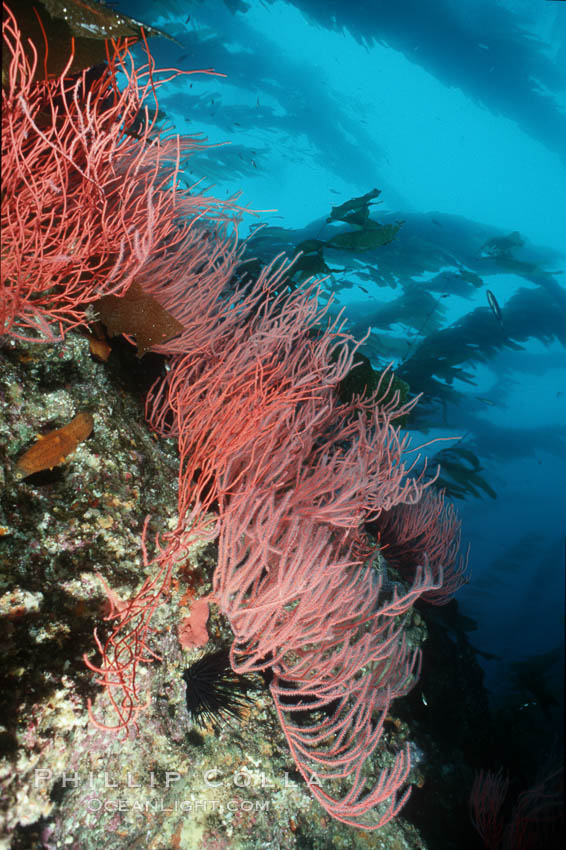 Red gorgonian on rocky reef below kelp forest. San Clemente Island, California, USA, Lophogorgia chilensis, Macrocystis pyrifera, natural history stock photograph, photo id 03827