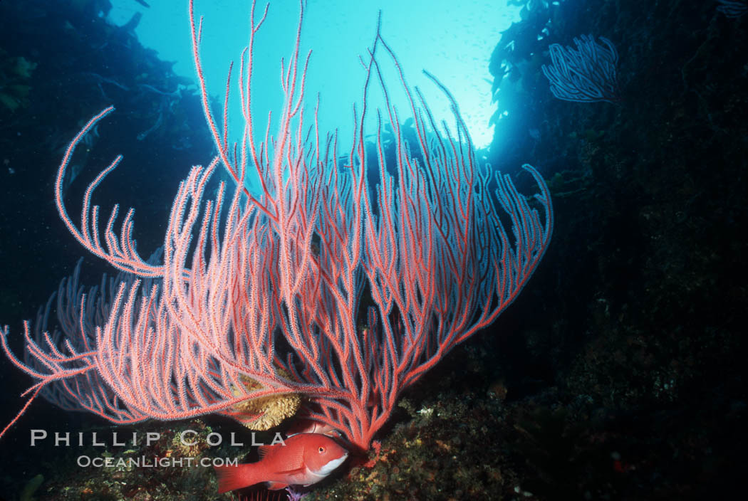 Gorgonians, Farnsworth Banks. Catalina Island, California, USA, Lophogorgia chilensis, natural history stock photograph, photo id 04707