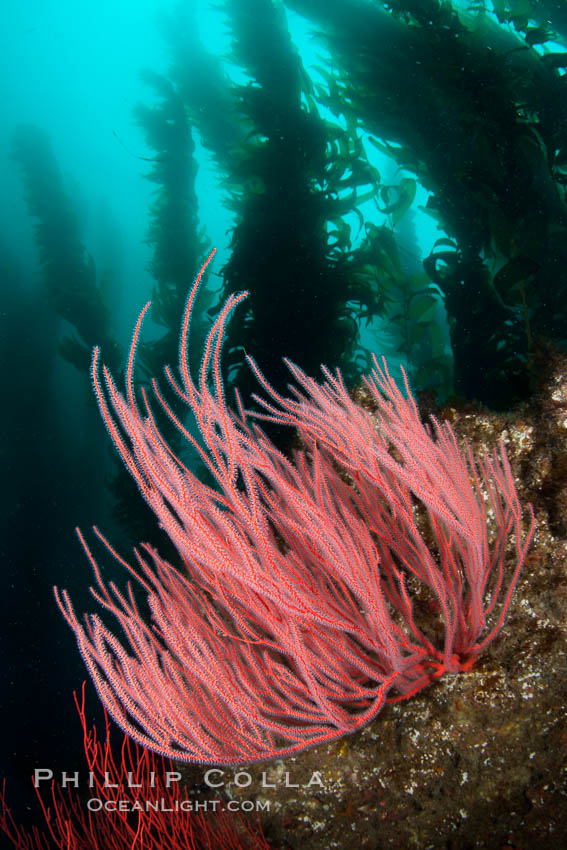 Red gorgonian on rocky reef, below kelp forest, underwater.  The red gorgonian is a filter-feeding temperate colonial species that lives on the rocky bottom at depths between 50 to 200 feet deep. Gorgonians are oriented at right angles to prevailing water currents to capture plankton drifting by. San Clemente Island, California, USA, Lophogorgia chilensis, natural history stock photograph, photo id 25394
