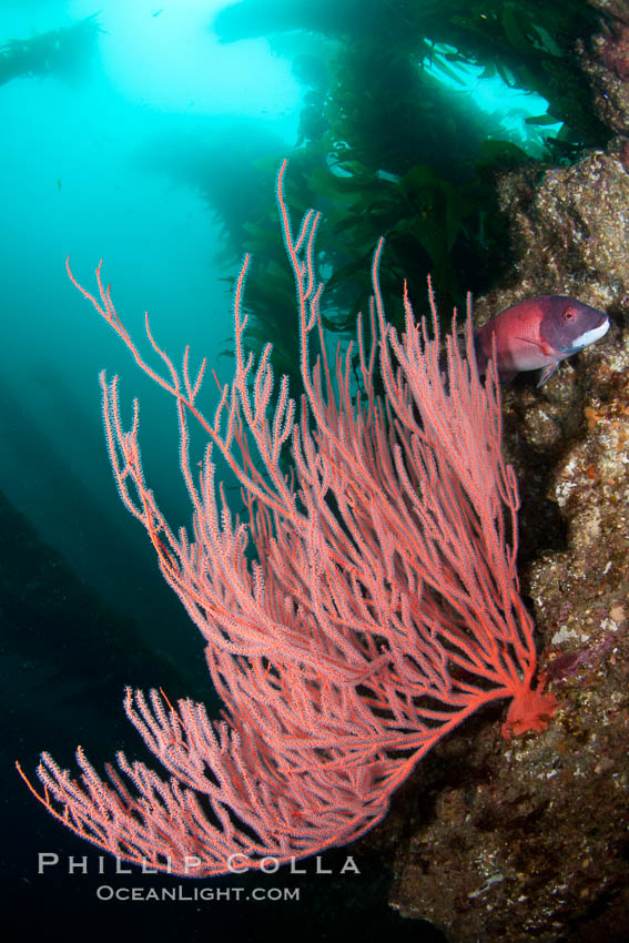 Red gorgonian on rocky reef, below kelp forest, underwater.  The red gorgonian is a filter-feeding temperate colonial species that lives on the rocky bottom at depths between 50 to 200 feet deep. Gorgonians are oriented at right angles to prevailing water currents to capture plankton drifting by. San Clemente Island, California, USA, Lophogorgia chilensis, natural history stock photograph, photo id 25406