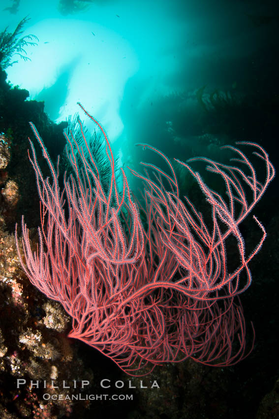 Red gorgonian on rocky reef, below kelp forest, underwater.  The red gorgonian is a filter-feeding temperate colonial species that lives on the rocky bottom at depths between 50 to 200 feet deep. Gorgonians are oriented at right angles to prevailing water currents to capture plankton drifting by. San Clemente Island, California, USA, Lophogorgia chilensis, natural history stock photograph, photo id 25422