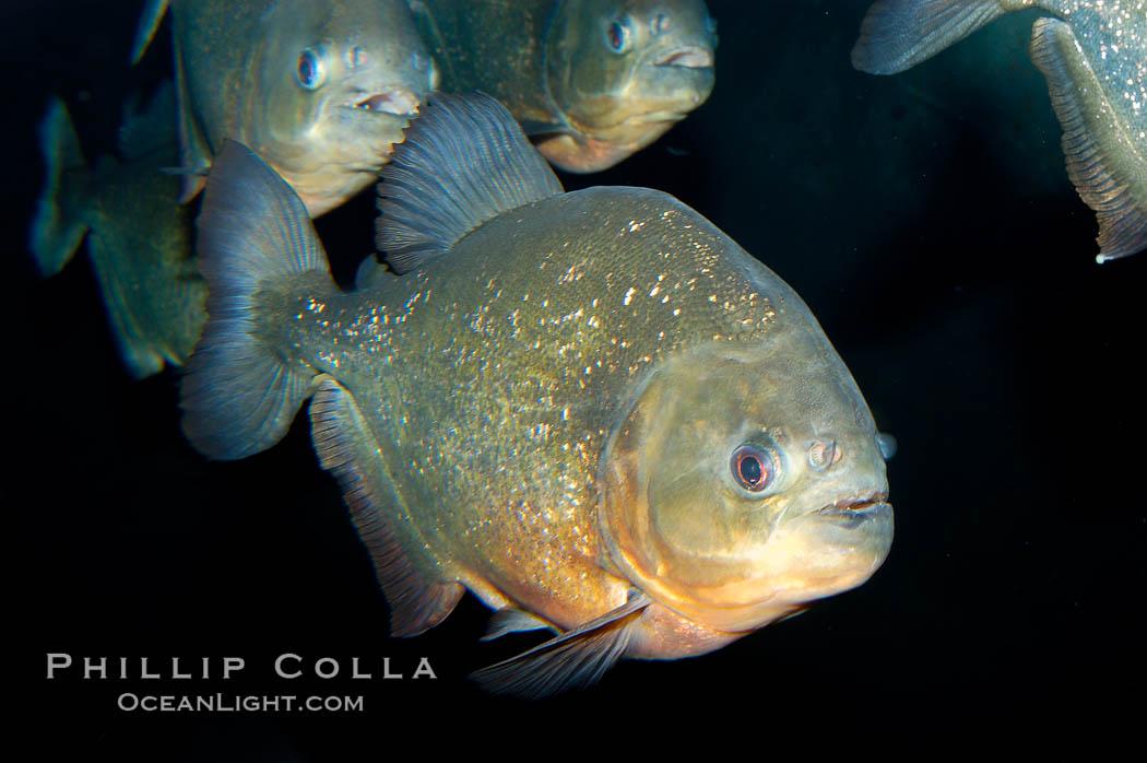 Freshwater predator fish red piranha photo stock for Predatory freshwater fish