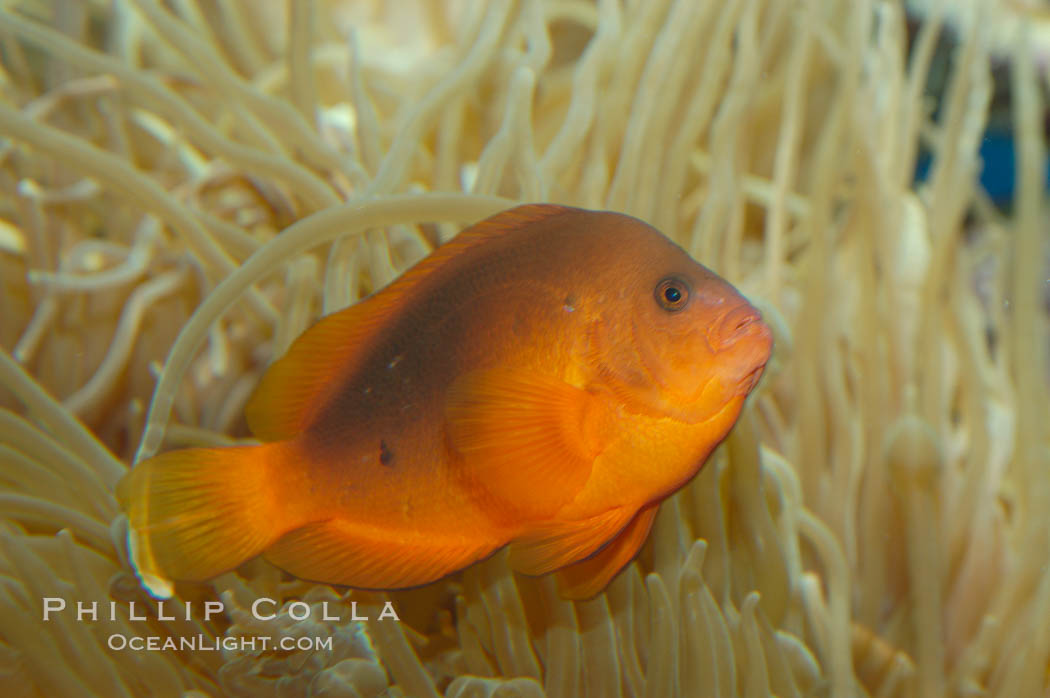 Red saddleback anemonefish., Amphiprion ephippium, natural history stock photograph, photo id 07792