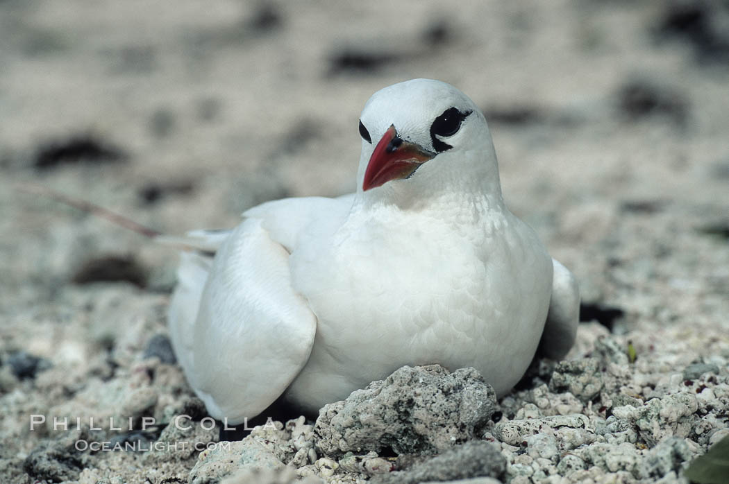Red tailed tropic bird. Rose Atoll National Wildlife Sanctuary, American Samoa, USA, Phaethon rubricauda, natural history stock photograph, photo id 00852