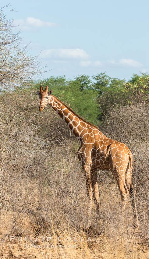 Reticulated giraffe, Meru National Park. Meru National Park, Kenya, Giraffa camelopardalis reticulata, natural history stock photograph, photo id 29753