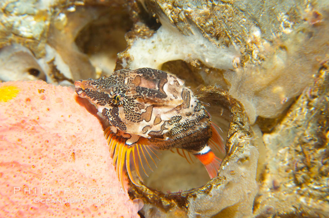 Grunt sculpin poised in a barnacle shell.  Grunt sculpin have evolved into its strange shape to fit within a giant barnacle shell perfectly, using the shell to protect its eggs and itself., Rhamphocottus richardsoni, natural history stock photograph, photo id 13725