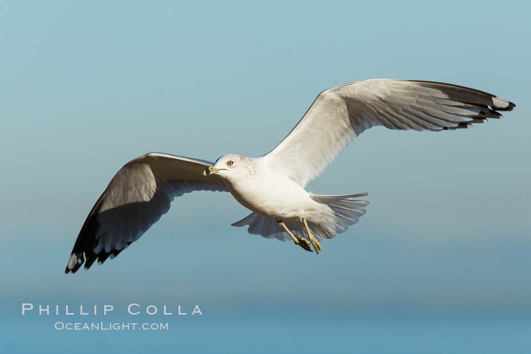Ring-billed gull, adult non-breeding, in flight, Larus delawarensis, La Jolla, California