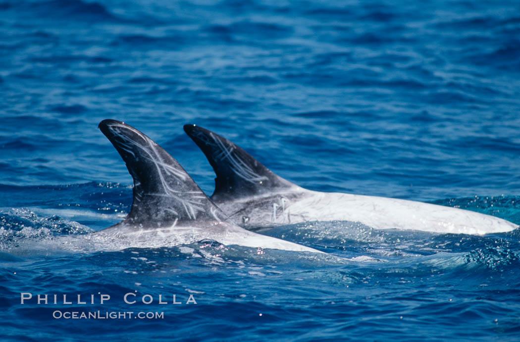 Rissos dolphin - photo#25